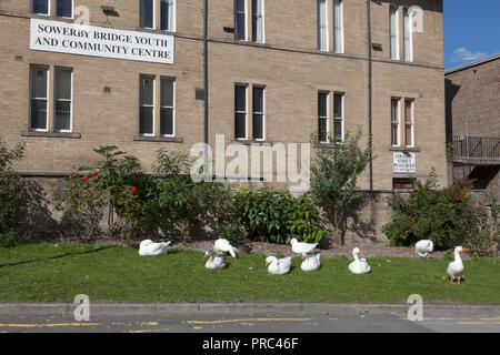 The famous geese of Sowerby Bridge, West Yorkshire - Stock Image