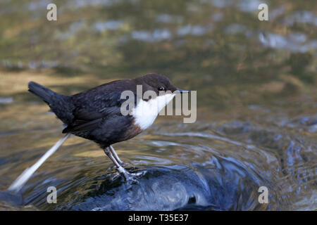 White-throated Dipper, Cinclus cinclus, defecating - Stock Image