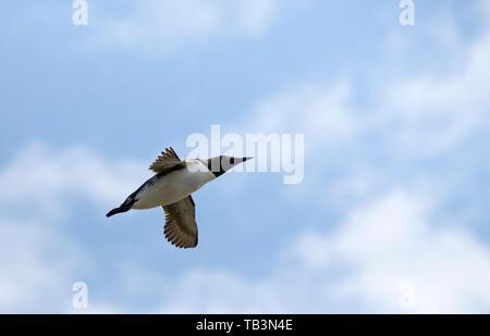 Common Guillemot on the Farne Islands, Northumberland, UK. - Stock Image