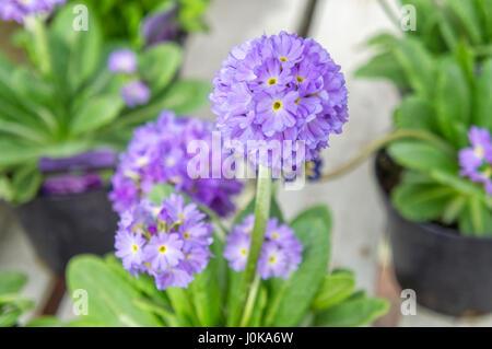 Purple Allium Blooms, Wentworth Garden Centre, Rotherham, Flowers - Stock Image
