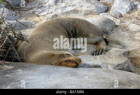 Galapagos Sea Lion, Zalophus wollebaeki, Otariidae, Espanola Island, Galapagos Archipelago, Ecuador, South America - Stock Image