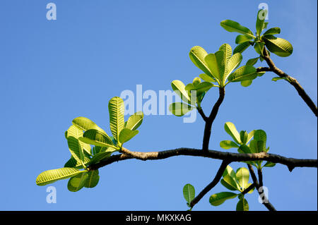plumeria green leaves on blue sky - Stock Image