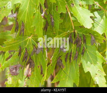 A group of newly hatched mayflies hangs on maple leaves next to the river - Stock Image