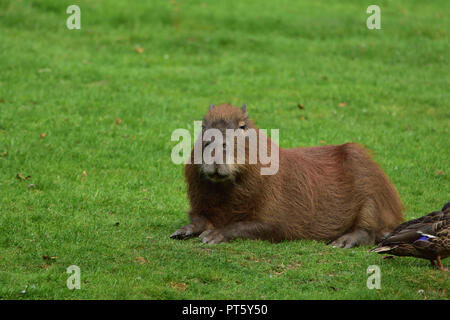 A capybara lying down on some grass - Stock Image