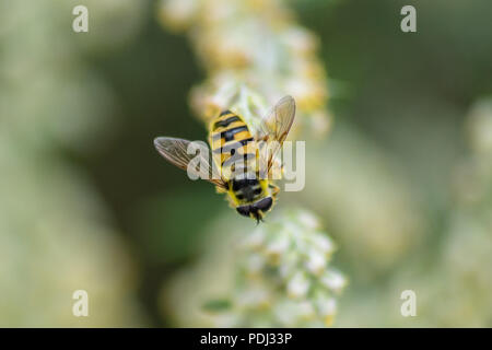 Hover fly Myathropa florea perched on a flower in the sun - Stock Image
