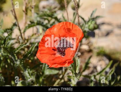 Red Poppy flower, Lake Titicaca, Isla del Sol, Bolivia - Stock Image
