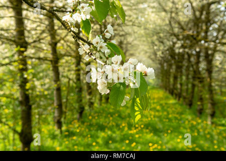 Cherry tree blossom, spring season in fruit orchards in Haspengouw agricultural region in Belgium - Stock Image