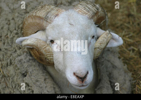 White Ram with Large Horns - Stock Image