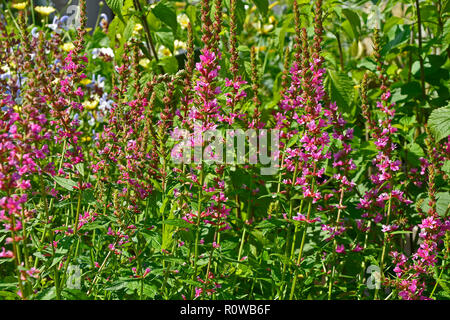 Close up of a flower border in a cottage garden with Lythrum salicaria 'Robert' - Stock Image