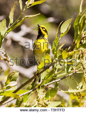 Townsend's Warbler, Dendrioca townsendi, perched on branch in Arizona USA - Stock Image