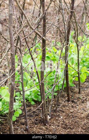 Pisum sativum var. saccharatum 'Green Beauty' in the vegetable garden at RHS Wisley. Snow Pea plants. - Stock Image