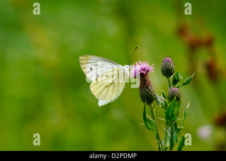 Pieris brassicae Cabbage White Butterfly on thistle - Stock Image