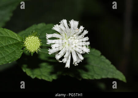 Barbara's-buttons blossoms and buds. - Stock Image