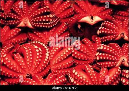 Octopus - Stock Image