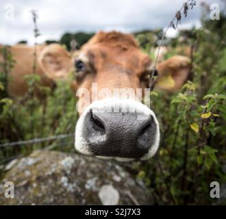 A portrait of the head of a dairy cow looking directly at the camera with a large nose prominent in a funny animal image - Stock Image