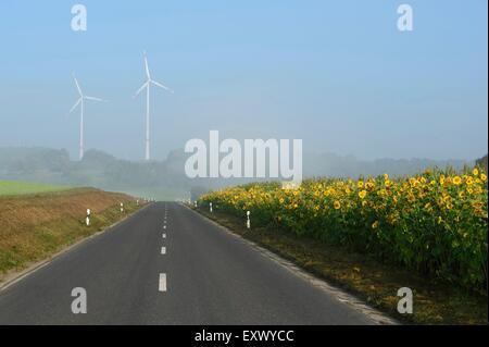 Sunflower field, Upper Palatinate, Bavaria, Germany, Europe - Stock Image