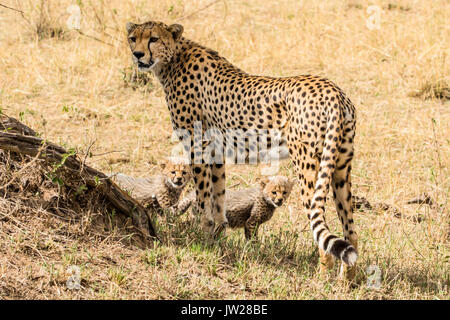 Cheetah (Acinonyx jubatus) mother and her two cubs - Stock Image