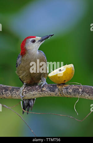 Jamaican Woodpecker (Melanerpes radiolatus) adult male perched at feeding on orange at feeding station  Marshall's Pen, Jamaica       December - Stock Image