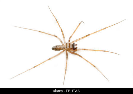 A male sheetweb weaver spider (Lepthyphantes nebulosus) on white background. The sheetweb weavers are part of the - Stock Image