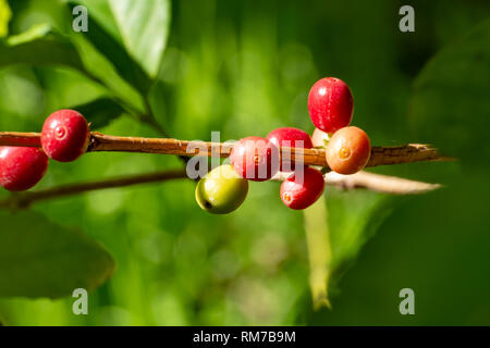 Branch of arabica coffee tree on plantation with green ripening coffee beans close up - Stock Image