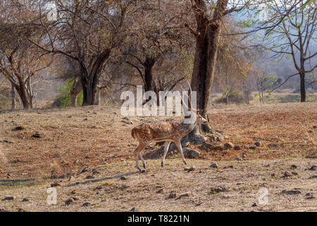 Spotted deer or chital (Axis axis) stag walking in woodland in Satpura Tiger Reserve (Satpura National Park), Madhya Pradesh in central India - Stock Image