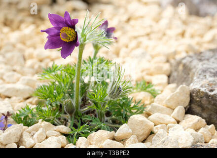Pulsatilla vulgaris, pasqueflower,meadow anemone, April fools, cat's eyes, Coventry bells, Dane's blood. Close-up of plant in flower. Spring plant - Stock Image