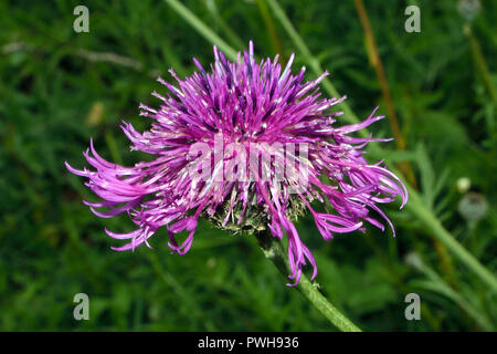 Centaurea scabiosa (greater knapweed) is a perennial plant native to Europe. It is  found in dry grasslands, hedgerows and cliffs on lime-rich soil. - Stock Image