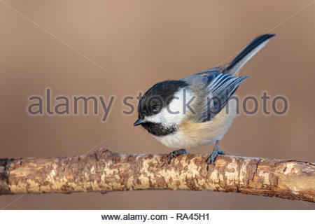 Black-capped chickadee Poecile atricapillus - Stock Image