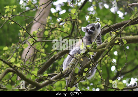Ring-Tailed Lemur in the forest canopy - Stock Image