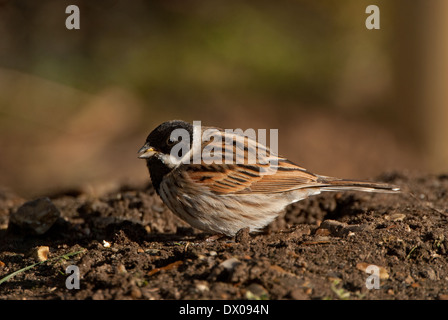 Cock Reed Bunting (Emberiza schoeniclus) feeding in spring - Stock Image