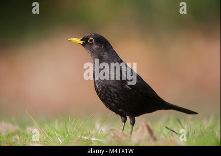 copyspacemale Blackbird, Eurasian Blackbird or Common Blackbird, (Turdus merula), on grass searching for worms, - Stock Image