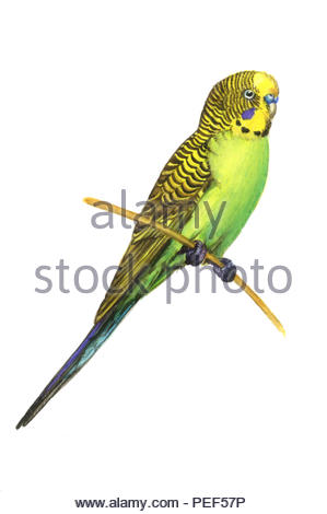 well melopsittacus undulatus - Stock Image