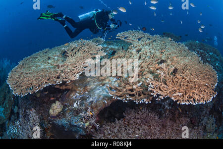 Female scuba diver, underwater photographer and videographer records marine life activity on large Acropora table corals. Raja Ampat, Indonesia. April - Stock Image