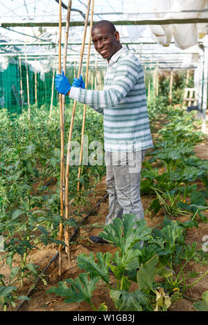 Skilled male worker of greenhouse making supports and tying up tomato plants - Stock Image