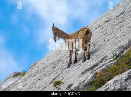 Ibex at Tomlishorn - Stock Image