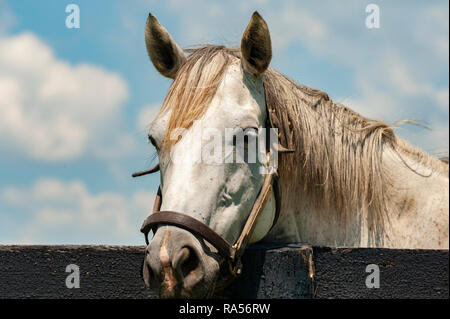 White horse looking over a blackboard fence - Stock Image