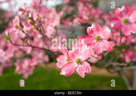 Red dogwood blossoms at Memory Gardens in Bella Vista, Ark. - Stock Image