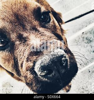 6 month old Labrador chow puppy - Stock Image