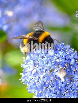 This is the Garden Bumble Bee (Bombus hortorum) collecting nectar in the early morning sunshine. - Stock Image