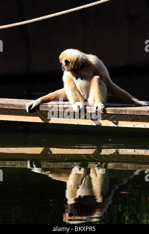 a gibbon monkey looking into the water thinking vertical - Stock Image