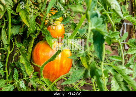 Tomatoes on the plantation - Stock Image