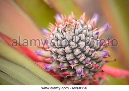 Pineapple in the jungle, Quebrada Valencia, Magdalena, Colombia - Stock Image