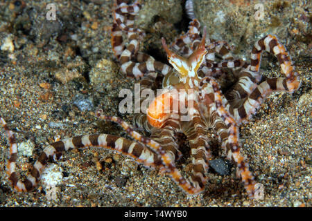 Wonderpus (Wunderpus photogenicus) on Sandy Bottom. Anilao, Philippines - Stock Image
