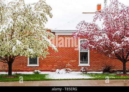 Asian pear & Crabapple trees dusted in bloom springtime snow; Salida; Colorado; USA - Stock Image
