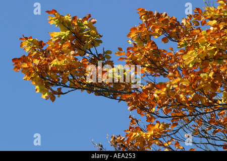 Fall foliage autumn leaves on beech tree in October in Europa - Stock Image