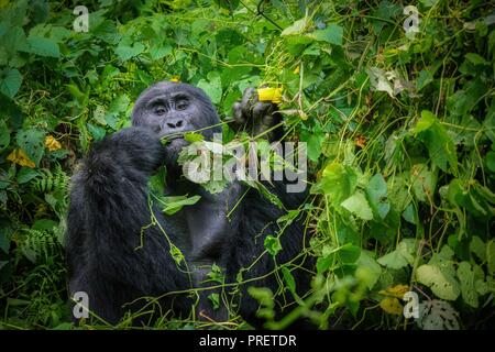 A male silverback mountain gorilla alone, preparing to eat leaves using human-like hands in his natural environment, surrounded by dense foliage. - Stock Image