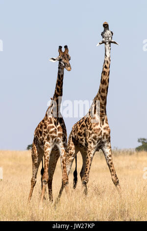 Two young Masai Giraffe (Giraffa Camelopardalis tippelskirchi) fighting - Stock Image