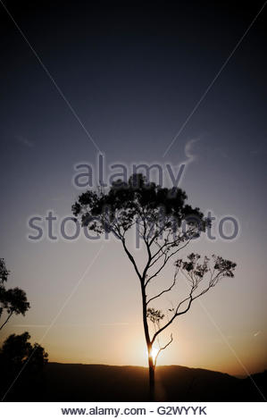 Eucalyptus tree in the sunset in the Jamison Valley in the Blue Mountains National Park. Echo Point, Katoomba, NSW, - Stock Image