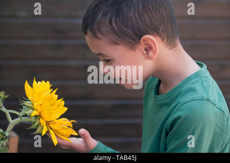 young boy growing sunflower - Stock Image