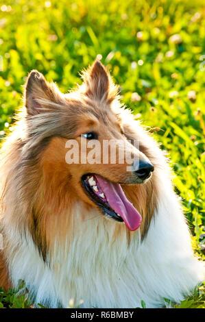 American Truebred Collie Dog - Stock Image